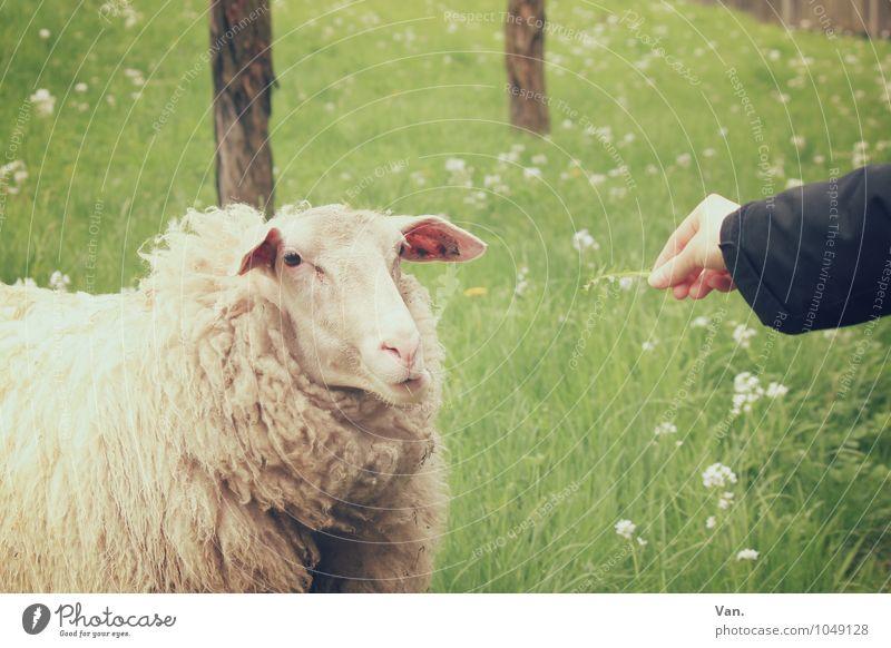 Ich bin so satt Arme Hand Natur Blume Gras Wiese Tier Nutztier Schaf 1 füttern grün Farbfoto mehrfarbig Außenaufnahme Tag Tierporträt Blick in die Kamera