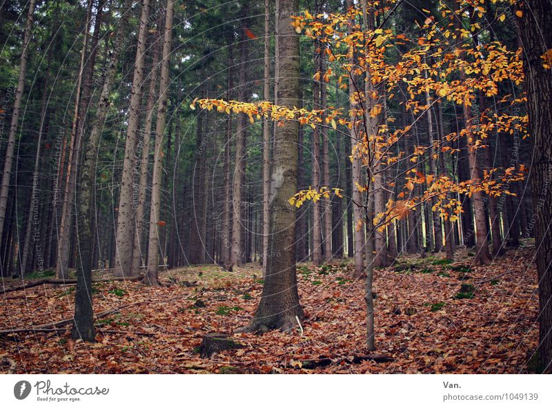 Einmal, im Wald Natur Pflanze Baum Blatt gelb Herbst braun Baumstamm