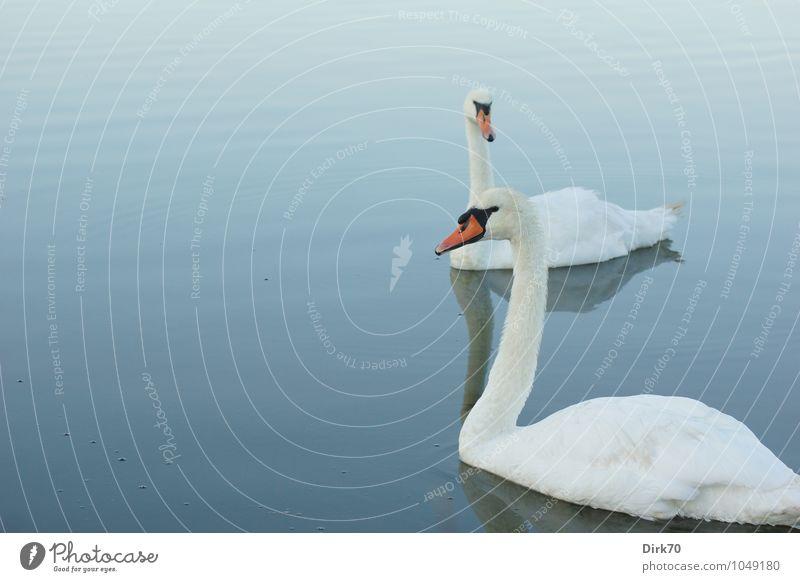 Schwanensee am frühen Morgen Natur Wasser Sommer Schönes Wetter Wellen Teich Wasseroberfläche Bretagne Frankreich Finistere Tier Wildtier Vogel Höckerschwan 2