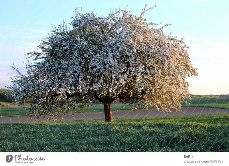 Apfelblüte in Hohenlohe Frucht Ernährung Gesundheit Fitness Erholung Meditation Ferien & Urlaub & Reisen Ausflug Fahrradtour Sommer Umwelt Natur Landschaft