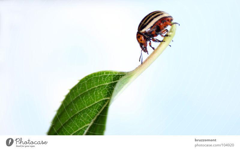 Leptinotarsa decemlineata Kartoffelkäfer Plage Landwirtschaft Insekt Nachtschattengewächse Käfer Colorado Beetle Schädlinge Mimikry