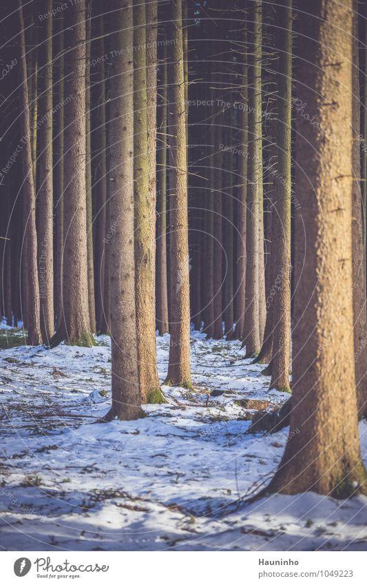 Nadelbäume im Winter Winterurlaub Umwelt Natur Landschaft Erde Sonnenaufgang Sonnenuntergang Sonnenlicht Klima Schönes Wetter Eis Frost Schnee Pflanze Baum