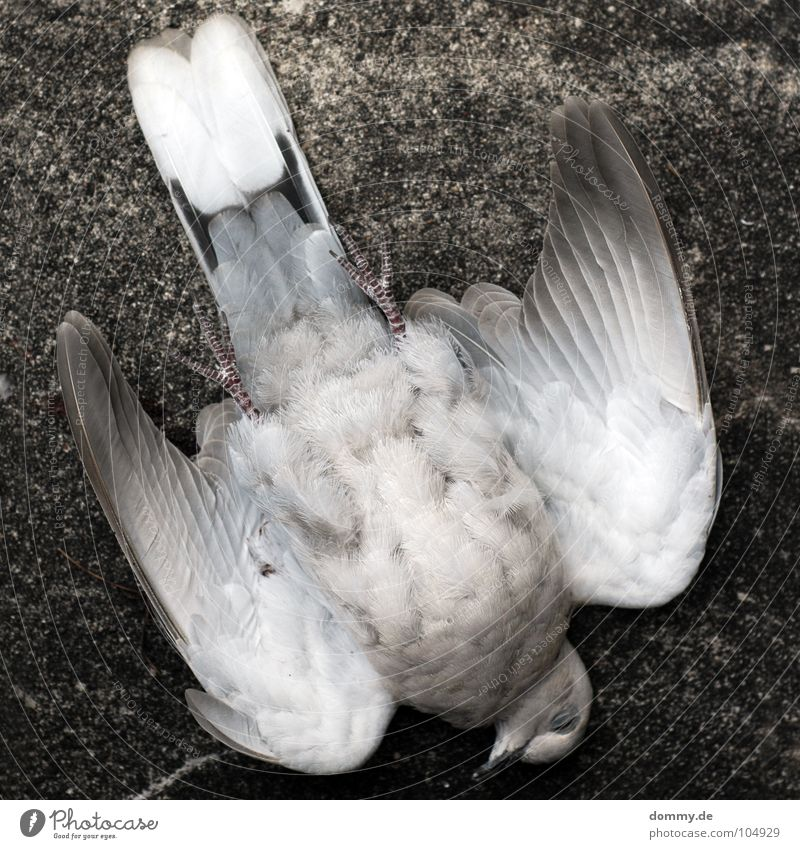 taube+wand= Taube Luft Beton Mauer Haus Unfall ausgestreckt Tier grau weiß Verschiedenheit Vogel fliegen Luftverkehr Tod ausstrecken Flügel Feder kadaver Beine