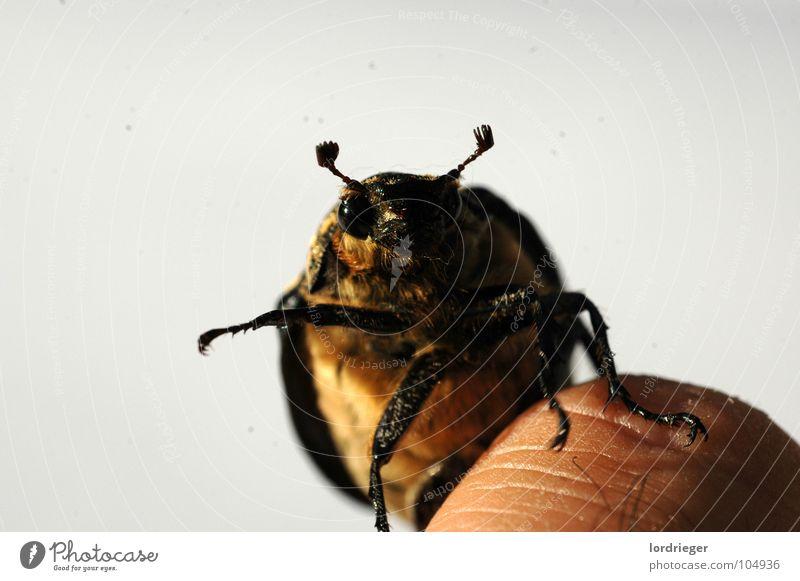 der flugunfähige Natur fliegen Finger Flügel Insekt Käfer Fühler