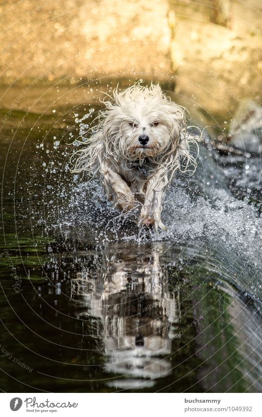 Havaneser im Wasser Freude Tier Wassertropfen Haustier Hund 1 Geschwindigkeit gelb grün schwarz weiß Bichon Jung Sonnenschein Aufregung Wuschel Aktion Dynamik