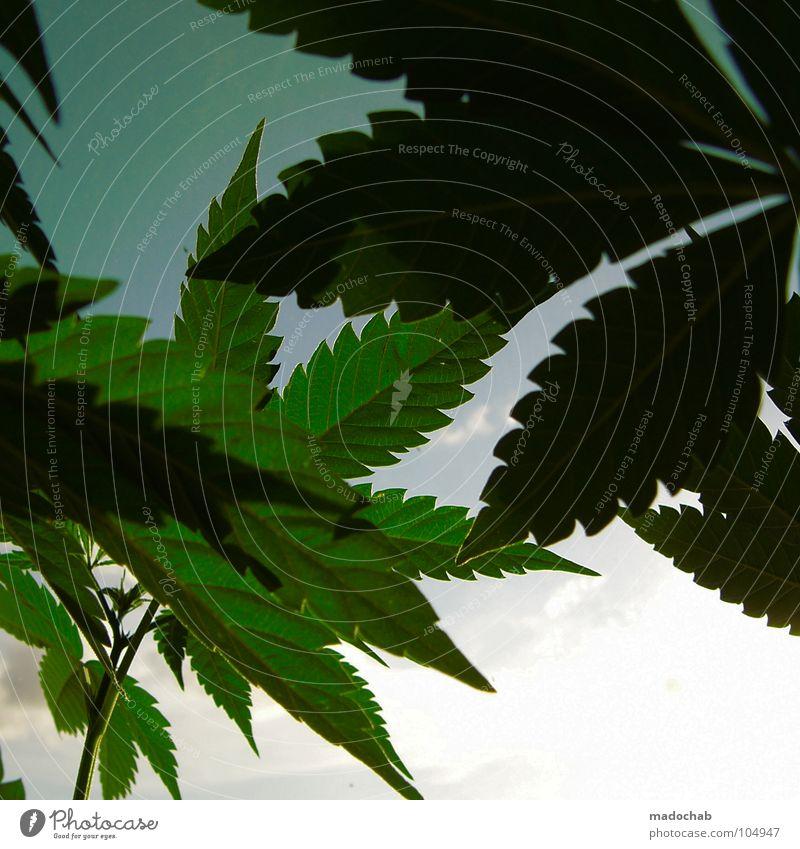 BASILIKUM Hanf Rauschmittel Heilpflanzen Cannabis Industriehanf Cannabisblatt Vor hellem Hintergrund