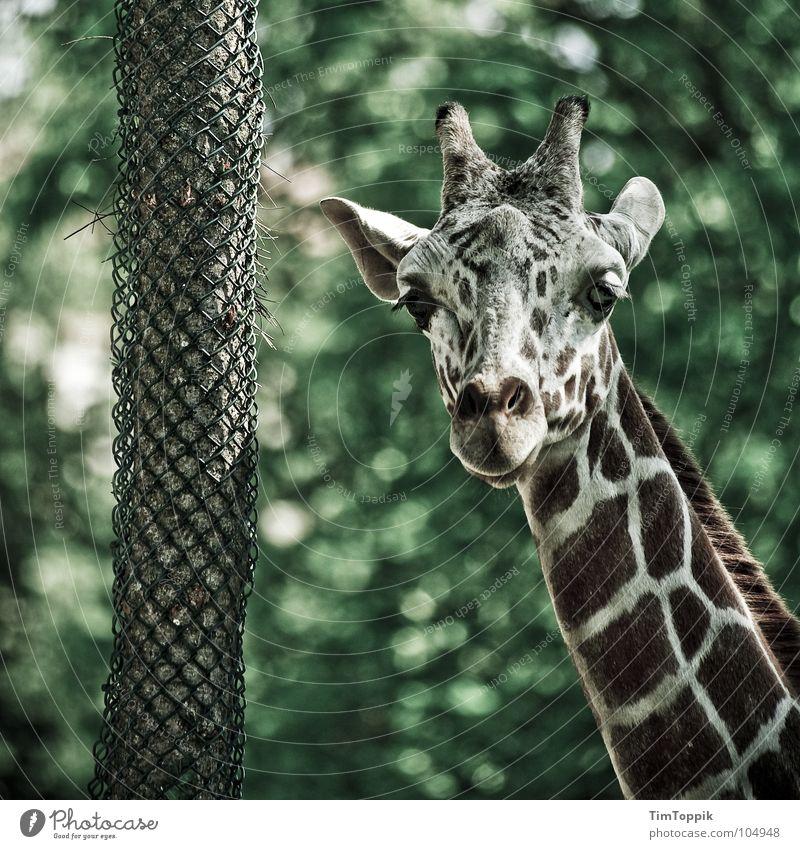 So'n Hals! Tier Baum grün braun scheckig Blick kariert Kenia Tansania Afrika Zoo Baumrinde Safari Steppe Savanne Paarhufer Serengeti Maassai Mara Uganda