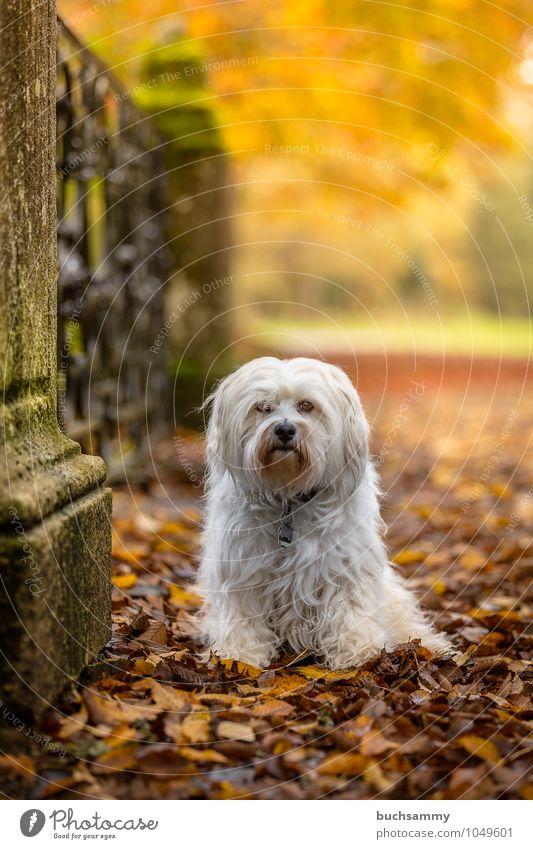 Hund in Herbstlicher Kulisse Natur Pflanze Tier Schönes Wetter Baum Blatt Park Fell langhaarig Haustier 1 sitzen klein gelb grün weiß Stimmung Bichon Haushund