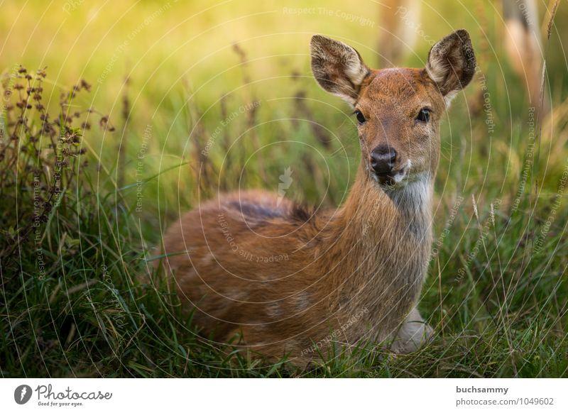 Wapiti Kitz Natur Tier Gras Wiese Wald Wildtier 1 Tierjunges sitzen braun grün Schutz Dammwild Jung Kitze Reh Sonnenschein Wapiti-Hirsche Wildnis Farbfoto