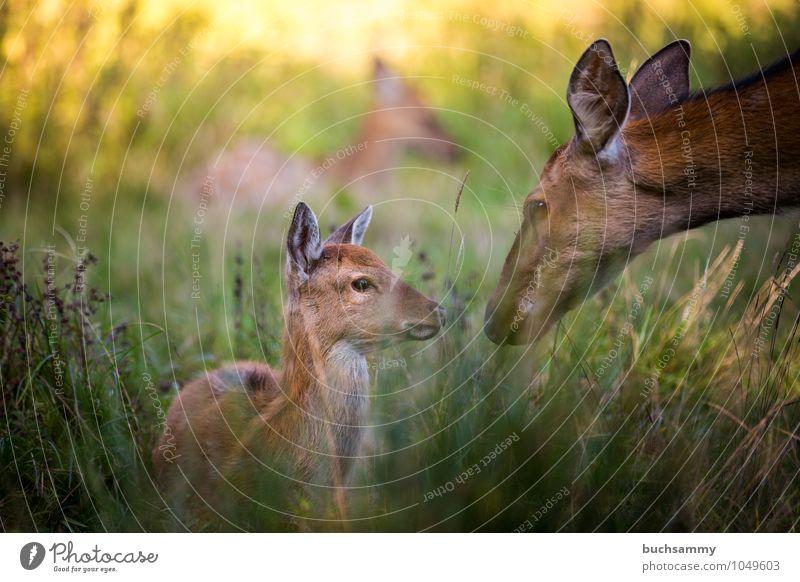 Fürsorge Kind Mutter Erwachsene Natur Tier Gras Wiese Wald Wildtier 1 Tiergruppe Liebe braun grün Schutz behüten Dammwild Jung Kitz Kitze Reh Sonnenschein