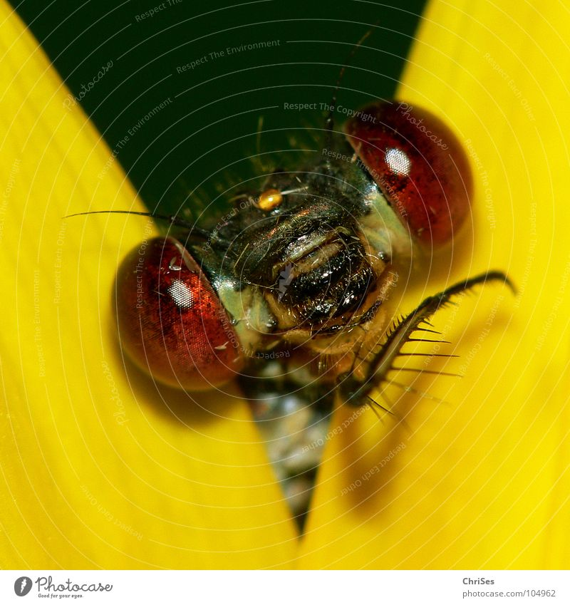 Gestatten: Weidenjungfer 01 grün Tier Auge gelb Garten Blüte Park Mund Nase Insekt Vorhang Sonnenblume Aussehen frontal Libelle Hallo