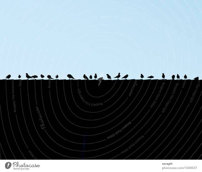 Schar Möwe Vogel Posten Haus Dach einzeln Vogelschwarm Schwarm Grundriss Silhouette Schnabel belarus sitzen Reihe beobachten Umrisslinie Orden Himmel Feder