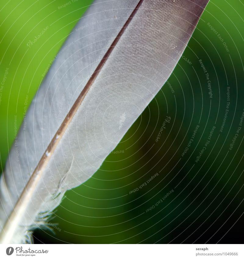 Feder Taube dove Schreibfeder weich leicht spielend Leichtigkeit fleecy fluffig flockig Strukturen & Formen keratin fauna plumage Zoologie wildlife Grundriss