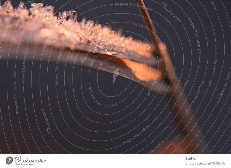 Eiskristalle auf einem gefrorenen Grashalm in warmem Nachmittagslicht heimisch nordisch Kälteeinbruch Wintereinbruch winterliche Stille kalt und warm