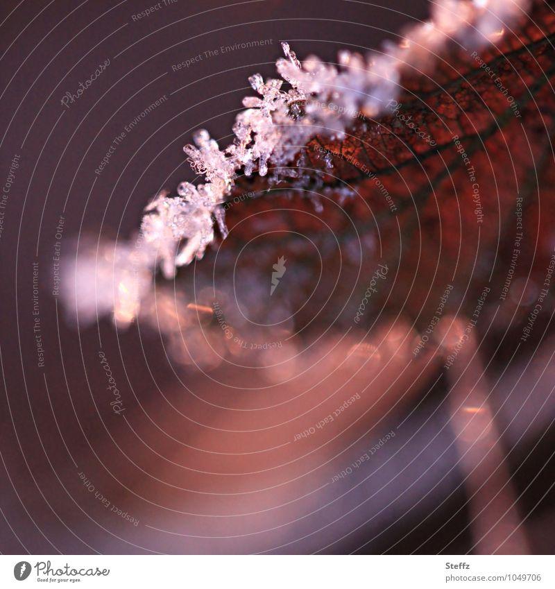 Winterblatt in warmem Nachmittagslicht Wintereinbruch Kälteeinbruch Kälteschock nordische Natur nordische Kälte Eiskristalle heimisch Winterimpression