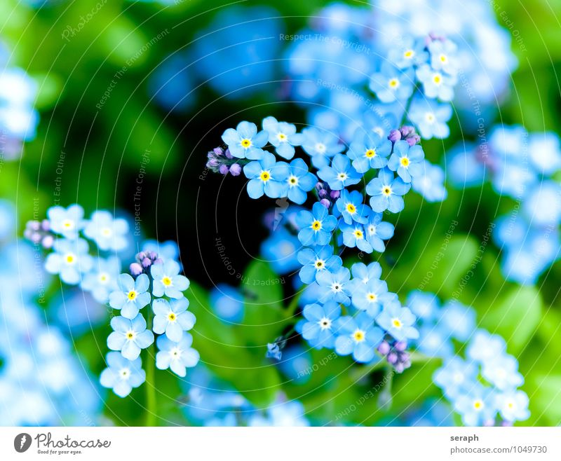 Vergissmeinnicht Vergißmeinnicht Blütenknospen Blume Blütenblatt Kelchblatt Pflanze Wachstum niedlich Botanik frisch zart Beautyfotografie zerbrechlich duftig