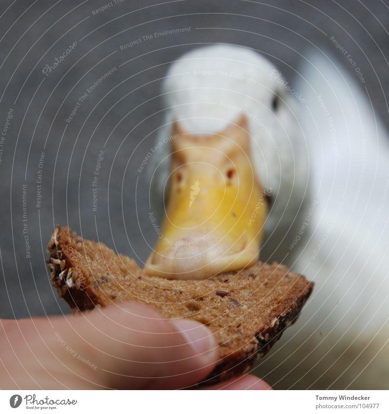 Raubtierfütterung Natur weiß Hand Sommer Tier Vogel orange Feder Vertrauen Bauernhof Appetit & Hunger Zoo Brot Tiefenschärfe Fressen Ente