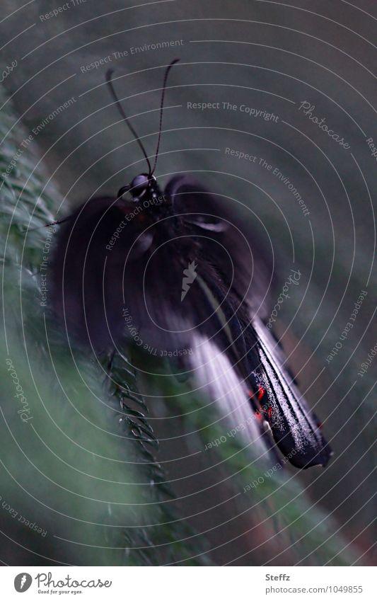 Schmetterlingseffekt Natur Flügel Fühler Ritterfalter Gewöhnlicher Mormonenfalter grün schwarz Chaostheorie Schneeballeffekt startbereit dunkelgrün Unschärfe