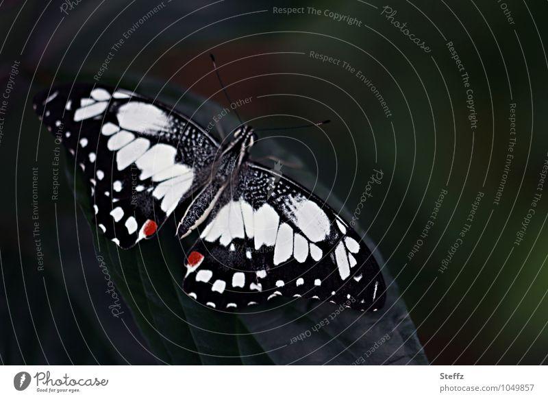 Ritterfalter Natur Schmetterling Flügel Edelfalter 1 Tier schön schwarz weiß Symmetrie dunkelgrün Muster Textfreiraum Eyecatcher Vor dunklem Hintergrund