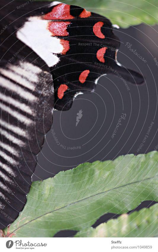 Flügel abstrakt Natur Blatt Schmetterling Ritterfalter Edelfalter schön nah natürlich grün rot schwarz Design Symmetrie Textfreiraum Naturmuster gestreift