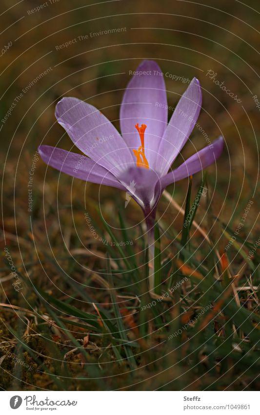 Sehnsucht nach Licht Frühlingsfest Natur Pflanze Blume Wildpflanze Krokusse Frühlingsblume Blütenstempel Blütenblatt Frühlingskrokus Blühend neu braun violett