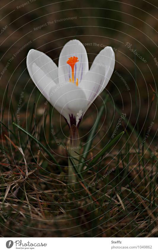 Sehnsucht nach Sonne Natur Pflanze weiß Blume Frühling braun Blühend neu Blütenblatt Frühlingsgefühle Wildpflanze Krokusse Blütenstempel Frühlingsblume
