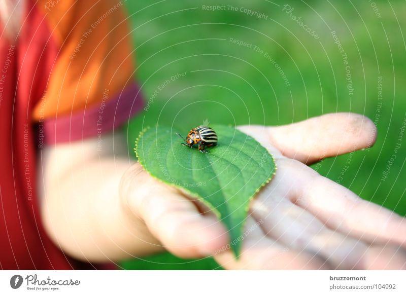 Jugend forscht Kartoffelkäfer Kind Blatt Hand Kinderhand Plage Landwirtschaft grün rot Chitin Käfer Kartoffeln Haut zehnstreifiger Leichtfuß Schädlinge
