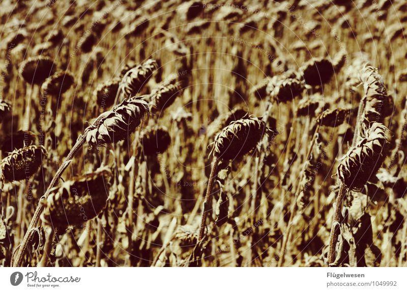 Hängende Köpfe Umwelt Natur Klima Klimawandel Pflanze Gras Sträucher Nutzpflanze Wildpflanze Wüste dehydrieren Appetit & Hunger Durst Verzweiflung Sonnenblume