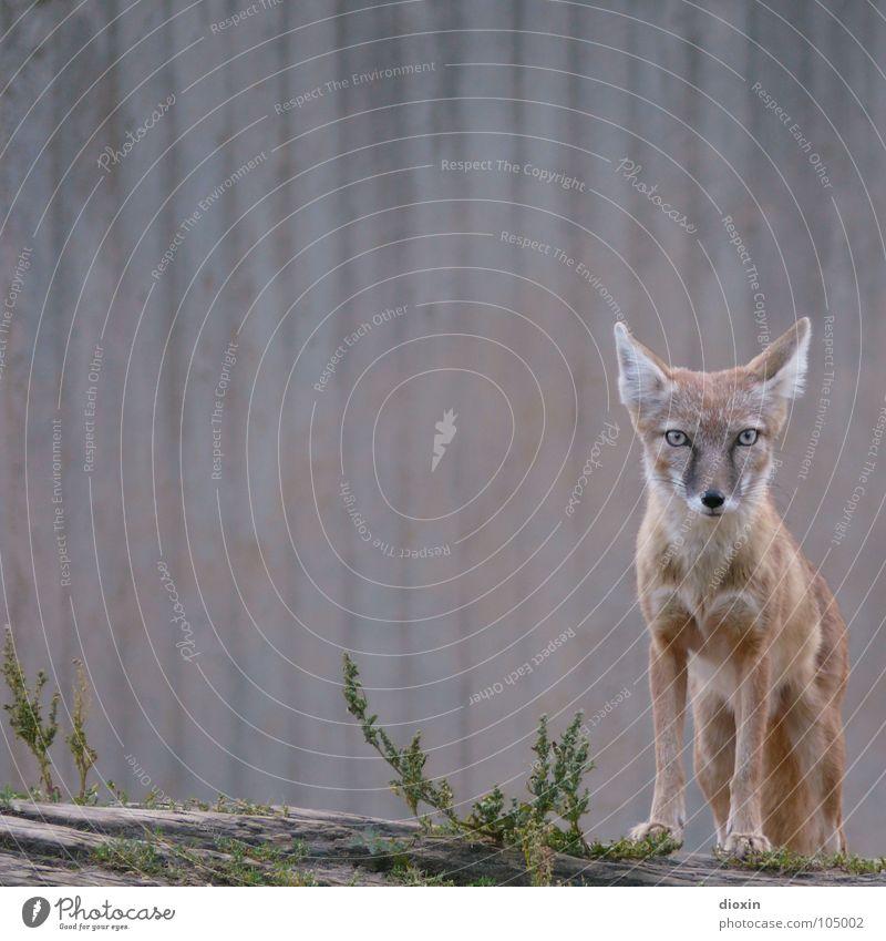 Korsak Natur Tier Umwelt grau braun warten Beton stehen Wildtier Ohr beobachten Fell Zoo Mut Interesse Säugetier