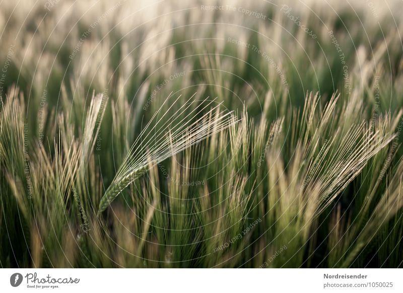 Gerste Bioprodukte Landwirtschaft Forstwirtschaft Natur Landschaft Pflanze Sommer Nutzpflanze Feld Wachstum rein Gerstenfeld Gerstenähre Granne Getreide