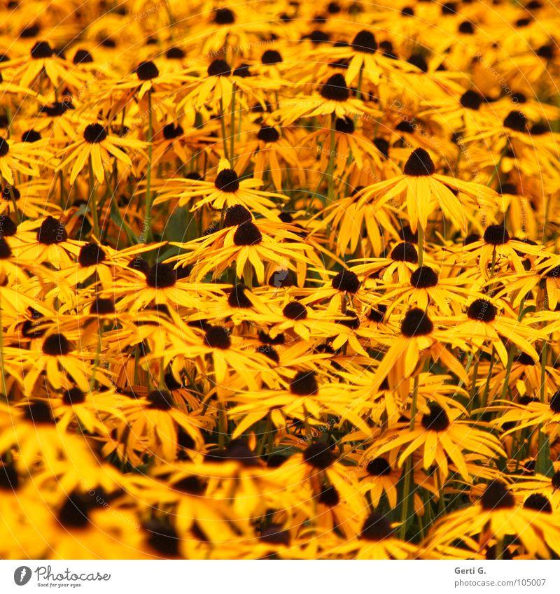 MeerBlüten Blume gelb Blüte Gesundheit orange mehrere viele Schönes Wetter Stengel Knöpfe Sonnenblume Pollen Blütenblatt Brustwarze Korbblütengewächs pflanzlich