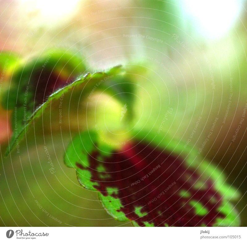 In Dragons Garten Pflanze Zierpflanze Wachstum Unschärfe Ecke Zickzack grün rot Muster planen Natur Blatt Biologie Hintergrundbild Bewegung elegant zart weich