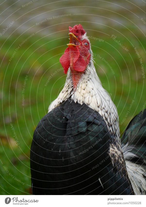 Der Hahn kräht rot Tier elegant Kraft Coolness Macht Schutz Sicherheit Neugier Wachsamkeit Mut Bioprodukte Konflikt & Streit Fürsorge selbstbewußt Fleisch