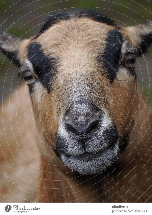 Schaf Tier Haustier Nutztier Wildtier Tiergesicht Fell Streichelzoo Kamerunschaf beobachten Blick nah Neugier wild braun Vertrauen Geborgenheit Interesse