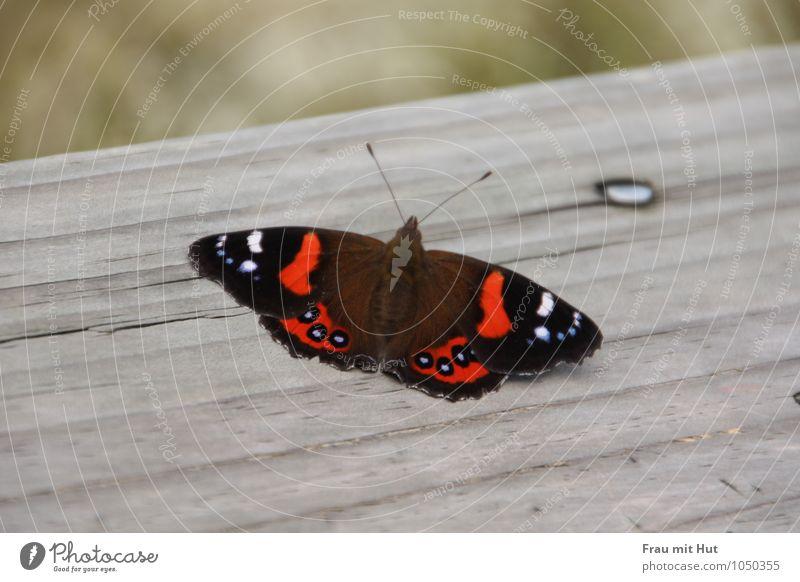 Schmetterling auf Holz Natur blau schön rot ruhig Tier schwarz grau fliegen Wildtier frei sitzen ästhetisch Flügel berühren