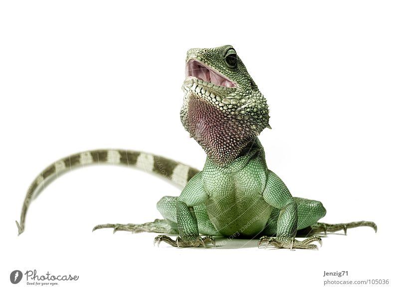 Poser 3 Echsen Echte Eidechsen Agamen Wasseragame Reptil Körperhaltung Schwanz grün Tier Warane Leguane Helge Scheune waterdragon