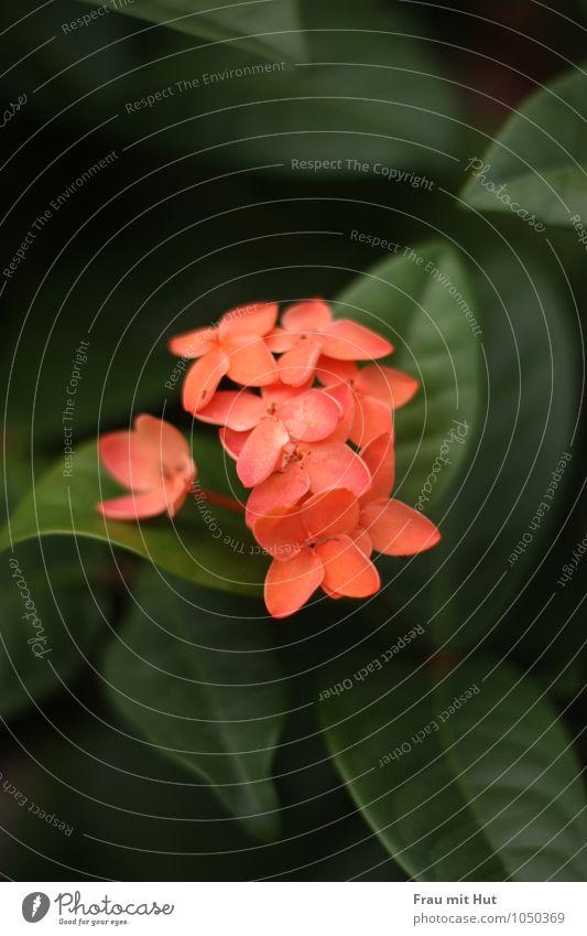 ExoticBlume Natur Ferien & Urlaub & Reisen Pflanze grün Sommer Blatt Blüte Garten rosa Park orange Sträucher frisch ästhetisch Insel