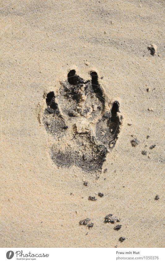 Strandpfote Hund Pfote 1 Tier Sand Fährte entdecken einfach frei maritim unten braun gold grau schwarz Freude Lebensfreude Freundschaft Tierliebe Treue achtsam