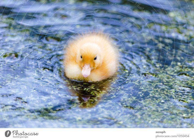 Küken Ente Vogel Feder Ornithologie Tier Natur Flügel wild wildlife Teich Tierjunges klein niedlich füttern maritim Umwelt fowl Entenvögel neugeboren fluffig