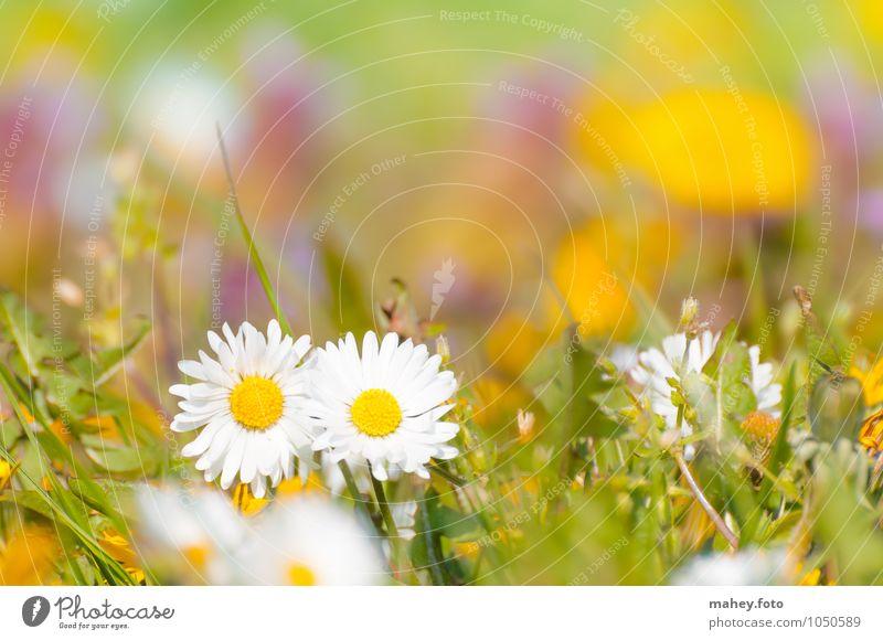 Zweisamkeit Natur Pflanze Frühling Schönes Wetter Blume Gras Wildpflanze Wiese Blühend frisch Glück hell schön klein gelb grün weiß Lebensfreude