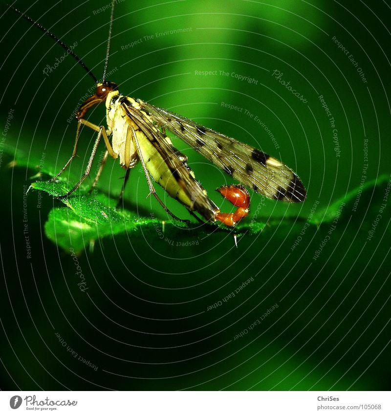 Gemeine Skorpionsfliege auf Brennessel (Panorpa communis) grün Tier Angst Flügel Insekt Panik Stachel Stachel gepunktet Nordwalde Spinne Brennnessel Hautflügler Skorpion