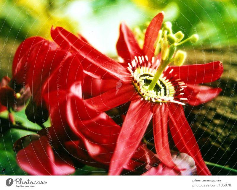 Die feuerrote Blume Sommer Blüte Garten Botanik Märchen Botanischer Garten