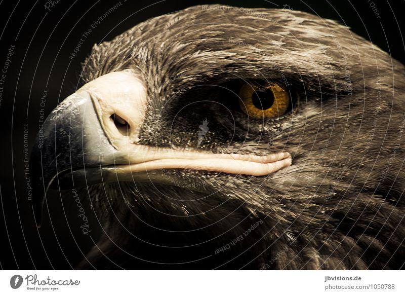 Adlerauge Tier Wildtier Vogel Tiergesicht Greifvogel 1 stark braun Stolz Ausschau halten Blick Adleraugen Schnabel gefiedert Farbfoto Gedeckte Farben