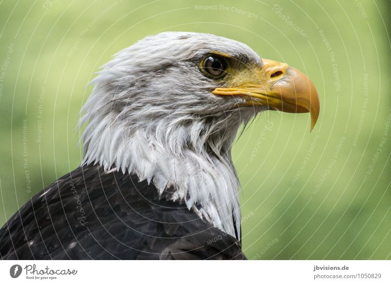Frisch gebadet Tier Wildtier Vogel Weisskopfseeadler Adler Greifvogel 1 nass weiß Stolz eitel Kraft Gebadet Blick Schnabel schön Erfrischung Farbfoto