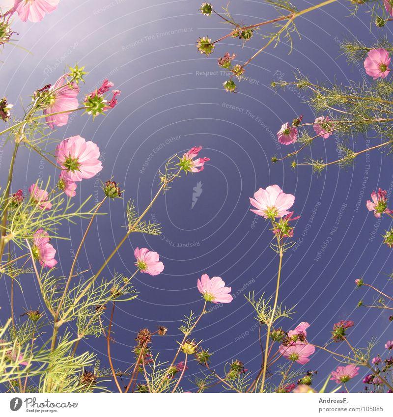 Blumenwiese Blüte Schmuckkörbchen Sommer Sommerfarbe sommerlich Froschperspektive Gras Blumenfeld mehrfarbig rosa Frühling Juli Wiese Blühend Himmel