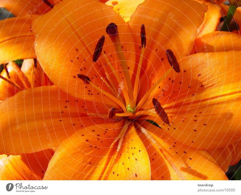 Lilie Lilien Blüte Blume