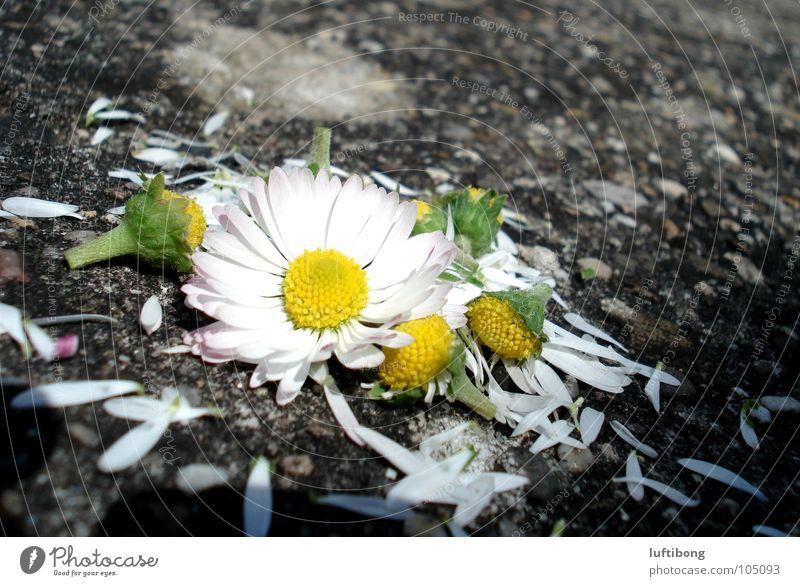 er liebt mich...er liebt mich nicht...oder doch? weiß Blume grün gelb Blüte kaputt Gänseblümchen Blütenblatt gepflückt