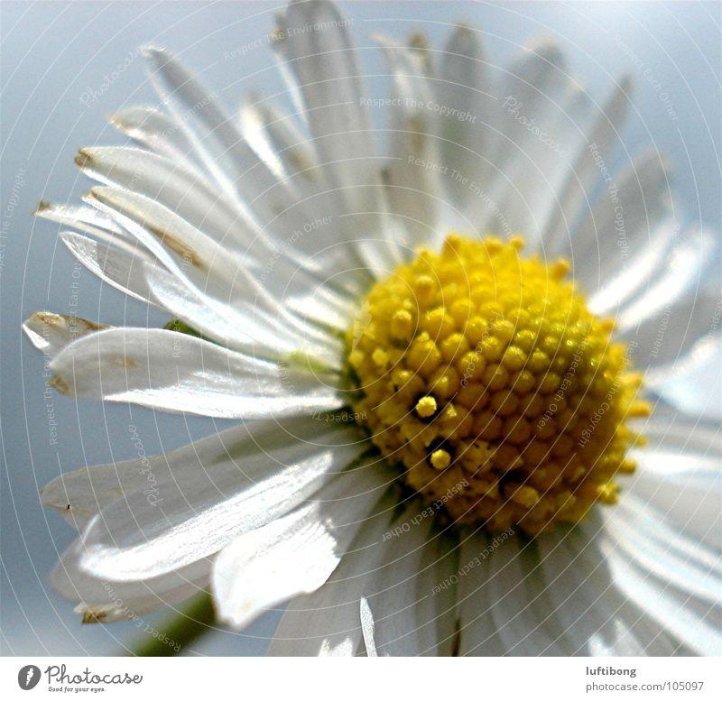 krönchen..auf dem blätterdach Natur weiß Blume gelb Blüte Gänseblümchen Pollen Blütenblatt