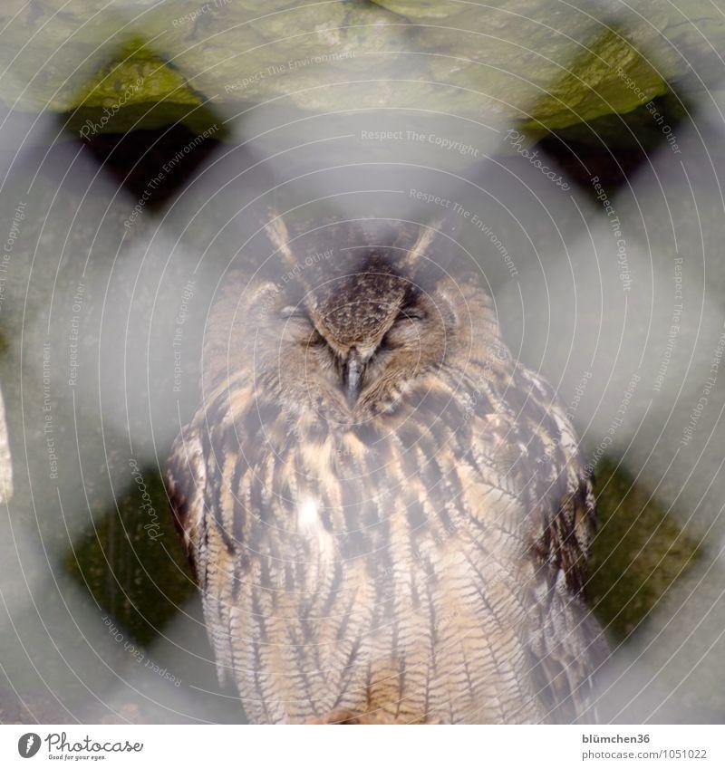 Er träumt von Freiheit! Tier Wildtier Vogel Uhu Eulenvögel Greifvogel Vogelkäfig Käfig Erholung schlafen sitzen träumen Zaun Gitter ruhig Müdigkeit Trägheit