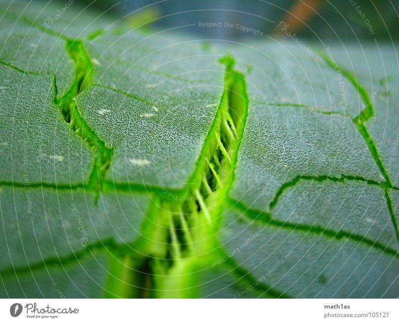 GrueneRisse Natur grün Pflanze Frühling Kaktus Wachstum Frankreich Riss sprengen Reifezeit Aloe